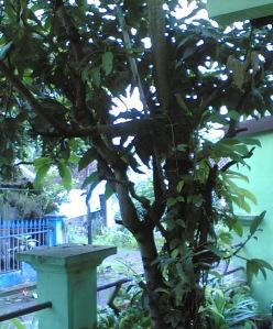 pohon-manggaku2